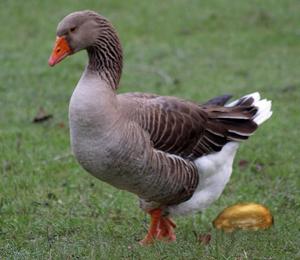 Image result for goose golden egg